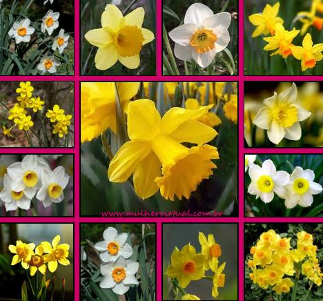Resultado de imagem para flores narciso