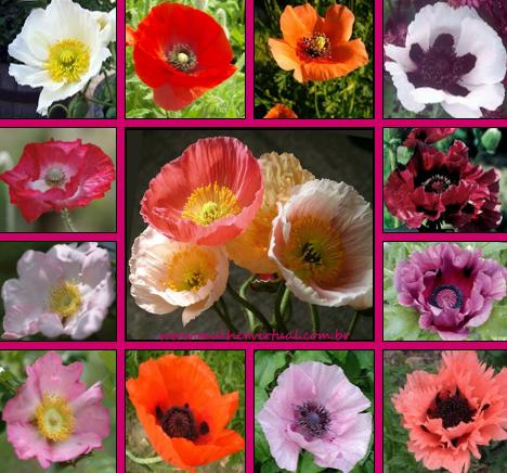 Resultado de imagem para flores papoula